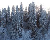 Администрация Токсово при участии Совета депутатов пыталась незаконно продать лесные участки под ИЖС (2015)