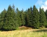 Новый год - 2008. В очередной раз токсовская ель станет главным праздничным деревом Санкт-Петербурга