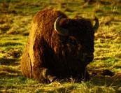Вольер зубробизонов, который на протяжении 3-х десятилетий является одним из символов Токсово, может быть уничтожен (осень 2010 г.)